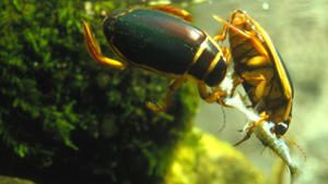 Two great diving beetles