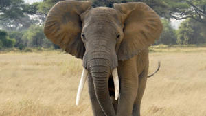 File photo: An elephant in Kenya
