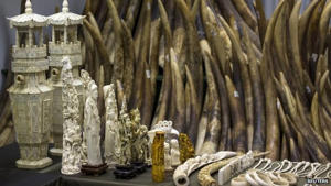 Ivory tusks and products are displayed after the official start of the destruction of confiscated ivory in Hong Kong 15 May 2014: China has started to destroy seized ivory in public