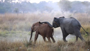 An orphaned elephant calf (left) is introduced to an adult at the Game Rangers International Release Facility at the Kafue National Park in Zambia, 10 June 2014: The report says elephants could face extinction if the current rate of poaching continues