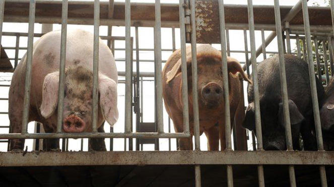Pigs: The use of antibiotics in farm animals was targeted by experts at the Paris meeting