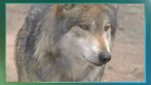 Gray wolves removed from endangered species list