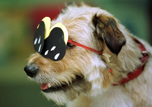Diapositiva 1 de 30: Dolly, a terrier, wears special protective glasses for a solar eclipse