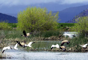 In this May 9 2005, file photo, shows snow geese and Canada geese preparing to land on marsh at the Lower Klamath National Wildlife Refuge near Merrill, Ore.