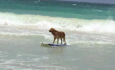 Awesome dog hops on a board and surfs waves like a pro