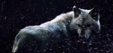 How the legend of dire wolf came to be