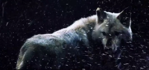 Dire wolves explained