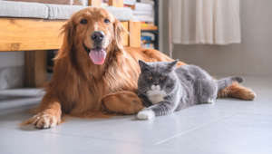 British short hair cat and golden retriever.