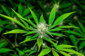 Close-up of cannabis plant.