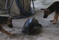 Epic standoff between a brave turtle and two curious dogs