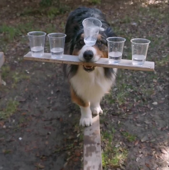 This extremely talented Australian shepherd named Rush balances five cups of water all while walking on a thin beam. How impressive is that?!