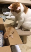 Impatient mother cat pushes kitten into box