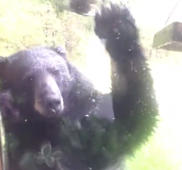 Busted! Bear caught stealing bird food in broad daylight