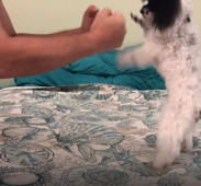 Dog boxing