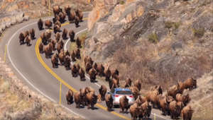Dozens of bison swarm a car