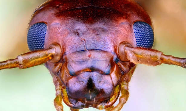 Slide 1 of 41: Earwig macro photo