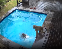 Breast-stroking baboons take over family pool in South Africa
