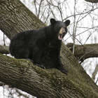A bear crouches in a tree in a suburban area of Paramus, N.J., Monday, April 30, 2018. Authorities are waiting for the bear to come down from the tree before trying to move it to a less populated area. (AP Photo/Seth Wenig)