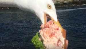 Seagull steals lobster roll right out of woman's hands