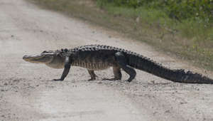 Alligator bites off piece of police car