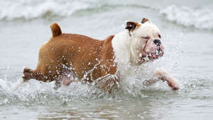 English bulldog prancing through the surf.
