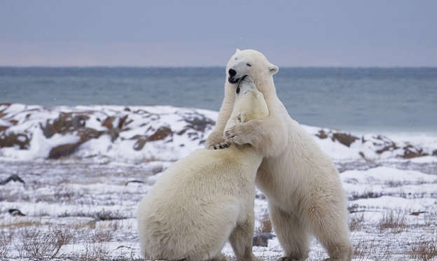 Slide 1 of 35: Two polar bears sparring on the frozen tundra of the Hudson Bay.  Churchill, Manitoba, Canada.