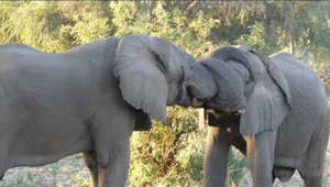 These two elephants wanted to express their love for one another in a unique way. Adorably, they wrapped their trunks around each other and stroked each other's heads.