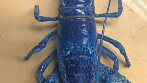 Rare blue lobster turns up at a restaurant