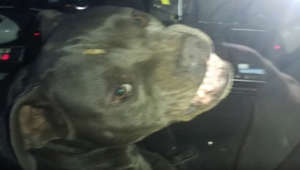 Pitbull 'Cujo' runs amok, hijacks cop car & steals beef jerky!