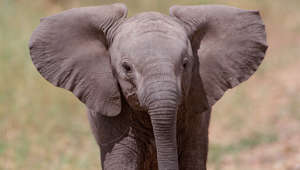 Close-up of baby African elephant carefree in the wild.