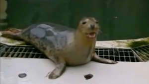 UK study shows seals copying human voice, singing