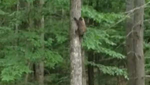 'Wait for me!' Determined porcupine follows mom up a tree
