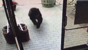 Bear visits Brazilian barbecue restaurant in Alberta