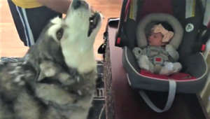 Alaskan Malamute dog meets newborn baby for the first time