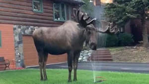 Opportunistic moose cools off with lawn sprinklers on a hot day