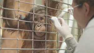 Watch 2-year-old orangutan's adorable interaction with zoo staffer