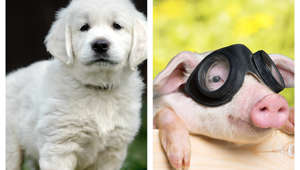 Which animal is more intelligent - dog or pig?
