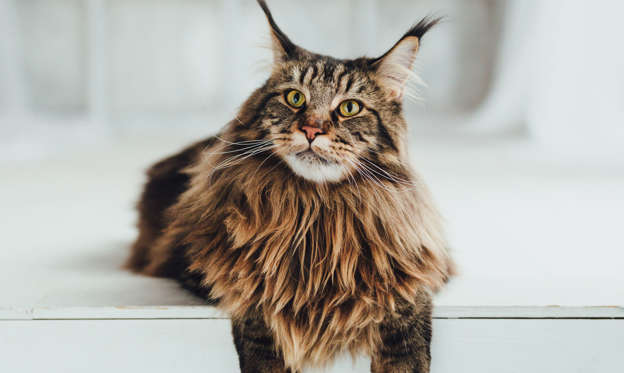 Lysbilde 1 av 100: Maine Coon cat on white background, close-up view