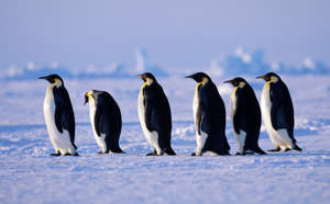 Emperor Penguins, Aptenodytes fosteri, walking back to colony after fishing expedition, across sea ice of the Weddell Sea, Antarctica. (Photo by: Education Images/UIG via Getty Images)