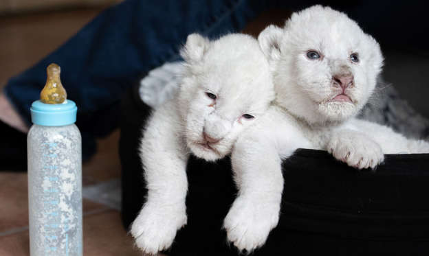 "Slide 1 of 35: New born white lion cubs rest in their basket after drinking milk with a nursing bottle, on August 11, 2019, at the association ""Caresse de tigre"", at La Mailleraye-sur-Seine, northwestern of France. - The two white lion cubs, named Nala and Simba, were born at the end of July 2019 at the association. (Photo by LOU BENOIST / AFP)        (Photo credit should read LOU BENOIST/AFP/Getty Images)"