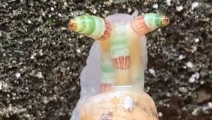 Bizarre snail with flashing green and orange horns baffles hiker