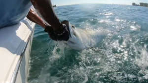 Hammerhead shark steals tarpon from fisherman