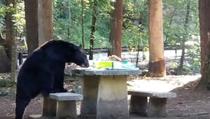 Brazen bear crashes family picnic