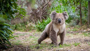 koala walking on land