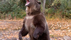 Grizzly Bear (Ursus arctos horribilis) adult standing on hind legs with open mouth, Montana, USA, October, controlled subject. (Photo by: Avalon/UIG via Getty Images)
