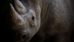 Rhino appearing from darkness, close-up.