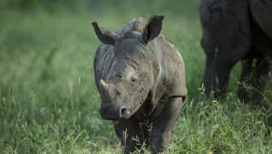 Cute moment baby rhino pretends to charge at jeep