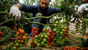A Palestinian man collects cherry tomatoes at a farm in Tubas, in the in the Israeli-occupied West Bank April 30, 2019. REUTERS/Raneen Sawafta