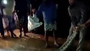 Locals capture an enormous python in southern Indian village