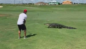 Florida golfer maintains his game as alligator crosses course